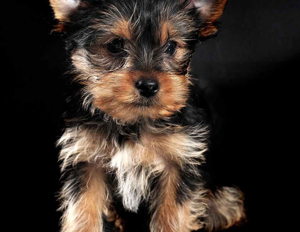The Terrier Group | Understanding Dog Breeds | K-9 Perfection LLC Dog Obedience Training